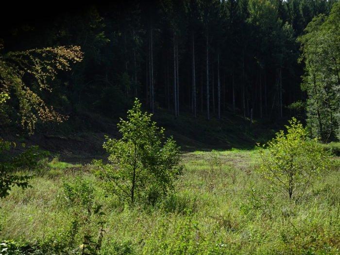 Natürliche Waldverjüngung durch Sukzession nach Fichtenrodung
