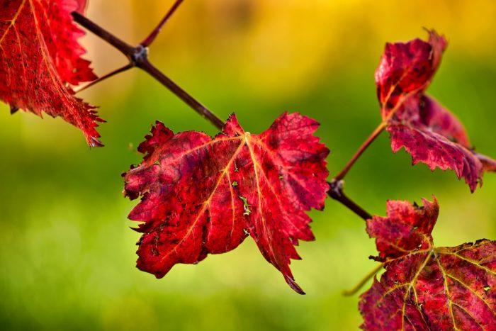 Leaves Grapevine Fall Autumn Mood  - Glavo / Pixabay