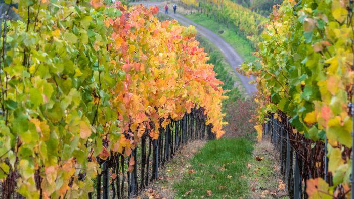 Vine Wine Vineyards Winegrowing  - Didgeman / Pixabay