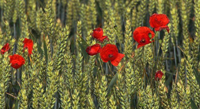 Wheat Poppy Flower Klatschmohn  - anaterate / Pixabay