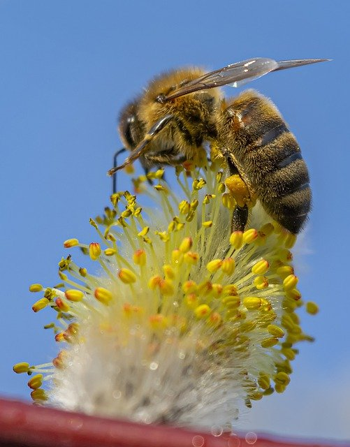 Bee Flower Pollen Pollinate  - superemelka / Pixabay